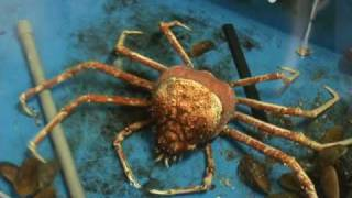 Линька японского краба-паука