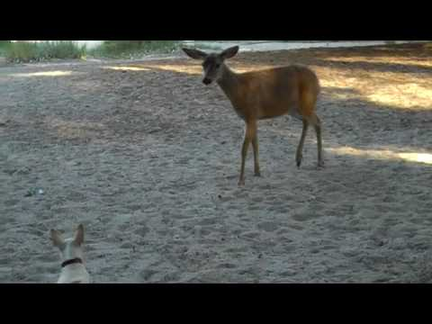 Chihuahua and Deer playing together