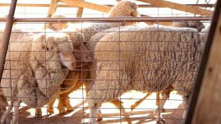 Cunnamulla Australia  city images : Sheep Shearing Cunnamulla