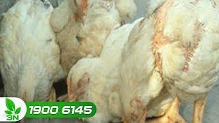 Chăn nuôi gà | Đâu là nguyên nhân gây bệnh cầu trùng manh tràng cho gà?