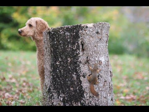 Шустрый бельчонок замучил собаку