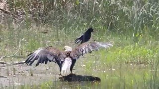 I Didn't Know Bald Eagles Could Swim