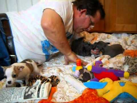 Blue Chihuahua puppies for sale in oregon – Oregon Breeder -