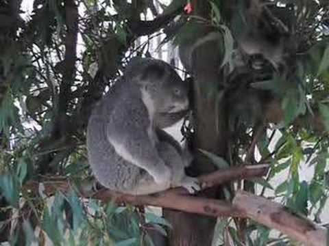 Koala Shreds