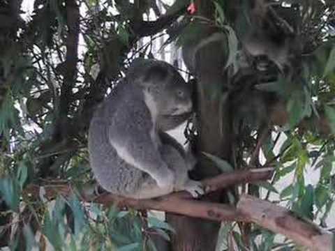 Koala Shreds