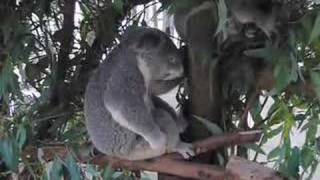 Рок-коала