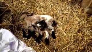 Baby Goat Born With 8 Legs