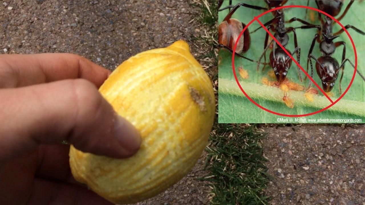 6 rimedi naturali contro le formiche in casa o nell'orto/giardino