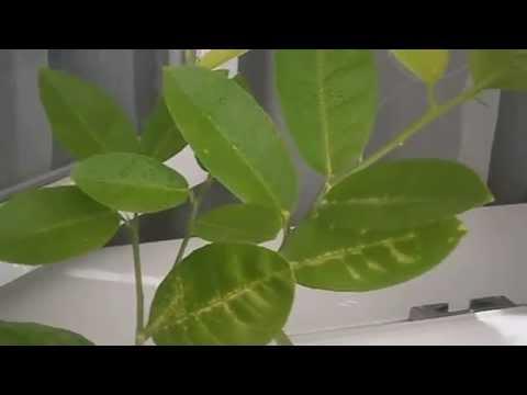 Особенности выращивания лимона в домашних условиях