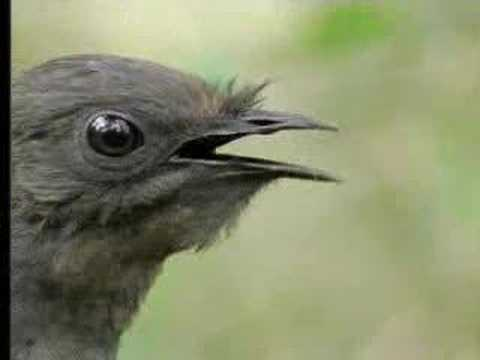 Amazing%21 Bird sounds from the lyre bird - David Attenborough  - BBC wildlife