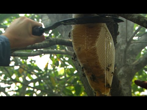 Dan Snow collects honey - Seven Wonders of the Commonwealth%3A Preview - BBC One