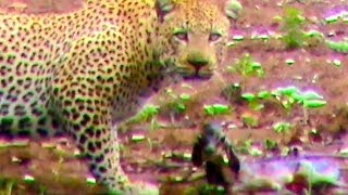 Incredibly rare and unbelievable video of an impala giving birth, only to lose her newborn lamb to a leopard moments later. Taken on the H1-6 near Letaba in ...