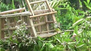 Download Video Cara memikat burung ciblek menggunakan jebakan dari pelepah pohon sagu MP3 3GP MP4