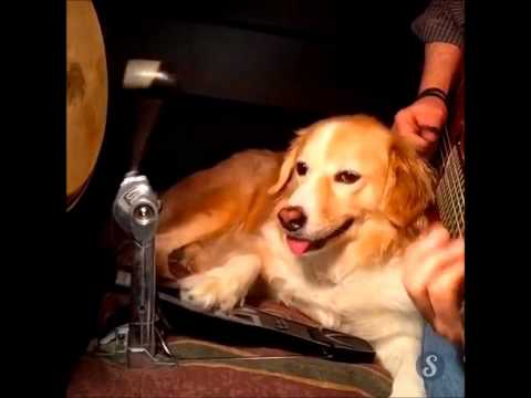 golden retriever plays all instruments