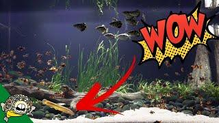 Dojo Loach Full Grown in the 800 Gallon Aquarium by Aquarium Co-Op