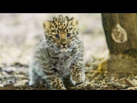 Wien/Österreich: Tierpark Schönbrunn - Amur-Leoparden ...