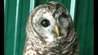 LIVE: Blind Rescue Owl Hooting & Cooling Off at Bird Sanctuary   The Dodo Live by The Dodo