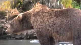 Video Bear gets heart attack!! Caught on camera MP3, 3GP, MP4, WEBM, AVI, FLV Agustus 2017