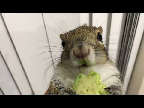 Just a squirrel enjoying his avocado