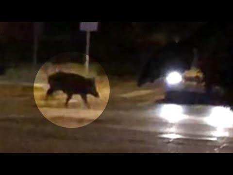 Wideo1: Dzik w środku miasta