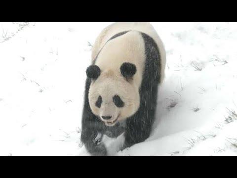 Pandas im Schnee - Wintereinbruch in China sorgt fü ...