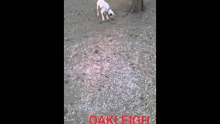 Oakleigh - Red Heeler / Mixed (short coat) Dog For Adoption