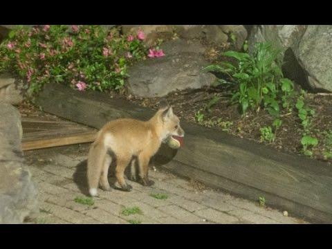 Lisice kao mačke – Bebe lisice se igraju sa lopticom (video)