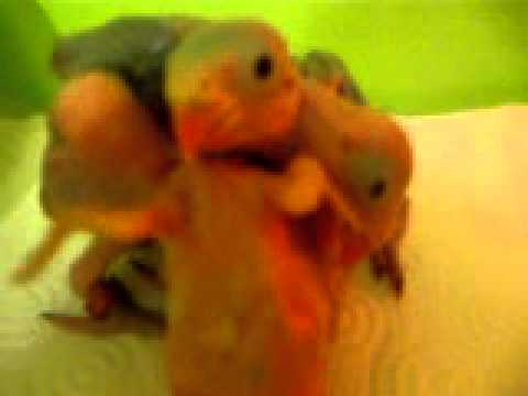 Baby Indian Ringnecks playing rugby? or twister?? you decide