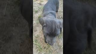 Beautiful Blue and Black Cane Corso Pups