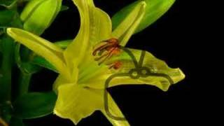 Lily blooms and rots time lapse