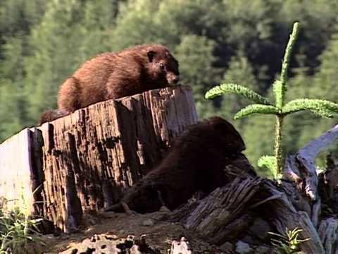 VI Marmot promo on VI Chronicles