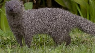 Mongoose vs  Francolin
