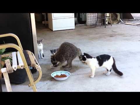 偷吃貓食的浣熊