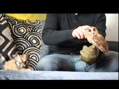 owl - This is the first meeting between Cutch, our Adult Indian Scops Owl and (No Name) our brand new Chihuahua Puppy. All our animals that come into contact with ...