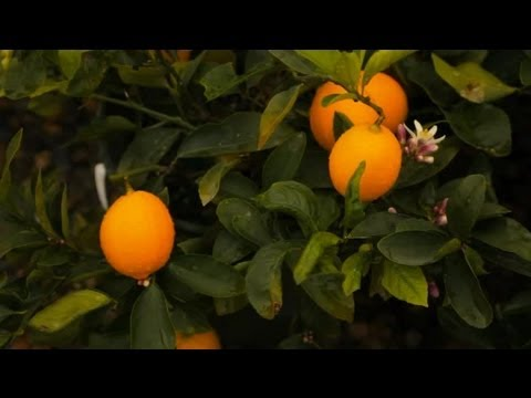 How to Feed Lemon Trees : Professional Gardening Tips