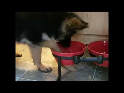 Koiranpennulle kaikki on uutta ja ihmeellistä, vaikkapa vain vesikuppi
