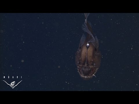 Video Of Black Seadevil Anglerfish