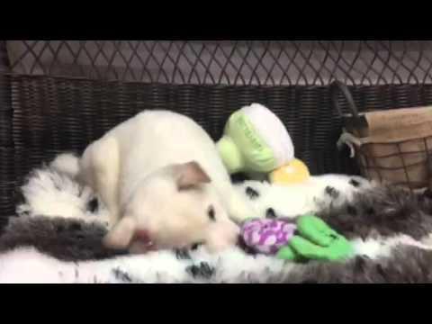 Gorgeous & Playful Cream Shiba