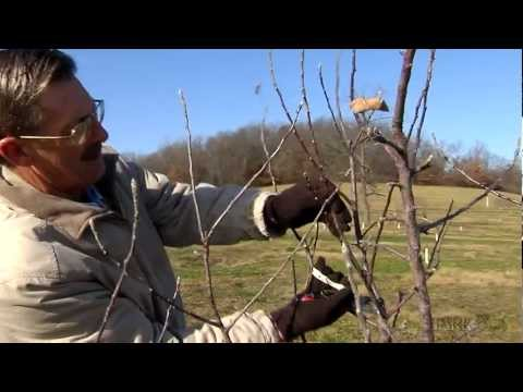 "<mark class=""comcode_highlight"">Stark</mark> Bro's<br />\n<br />\n<strong>Published on Jan 23, 2013</strong>\n\n<p id=""eow-description"">The ideal time to prune your fruit trees is in the late winter and early spring, while they are dormant and before their buds break. In this video, Elmer focuses on pruning trees that require a main leader — a taller, larger limb that is dominant over other branches. He offers helpful instructions and demonstrates how to prune fruit trees that favor this system, which include apples and pears. The main reason to prune is to encourage stimulation and balance, so that your fruit trees are healthy and productive, year after year!<br />\n<br />\nAbout <mark class=""comcode_highlight"">Stark</mark> Bro's: Since 1816, <mark class=""comcode_highlight"">Stark</mark> Bro's Nurseries & Orchards Co. has provided home growers with exceptional fruit trees, nut trees, berry plants and more. Check out our website (<a data-servicelink=""CDEQ6TgiEwiJrL-DzKbRAhUBvU4KHV9SDOUo-B0"" data-target-new-window=""True"" data-url=""http://www.<mark class=""comcode_highlight"">stark</mark>bros.com"" href=""http://www.<mark class=""comcode_highlight"">stark</mark>bros.com/"" rel=""nofollow"" target=""_blank"">http://www.<mark class=""comcode_highlight"">stark</mark>bros.com</a>), like us on Facebook (<a data-servicelink=""CDEQ6TgiEwiJrL-DzKbRAhUBvU4KHV9SDOUo-B0"" data-target-new-window=""True"" data-url=""http://www.facebook.com/<mark class=""comcode_highlight"">stark</mark>bros.co"" href=""http://www.facebook.com/<mark class=""comcode_highlight"">stark</mark>bros.co"" rel=""nofollow"" target=""_blank"">http://www.facebook.com/<mark class=""comcode_highlight"">stark</mark>bros.co</a>), and follow us on Twitter (@<mark class=""comcode_highlight"">stark</mark>bros) to learn more.</p>"