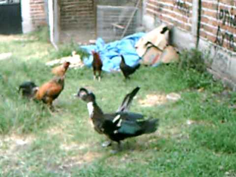 gallo contra pato