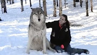 Video WOLF APPROACHES WOMAN IN THE WOODS AND SITS DOWN BUT WATCH HIS NEXT MOVE MP3, 3GP, MP4, WEBM, AVI, FLV Agustus 2018
