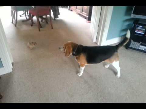 Teacup chihuahua vs beagle