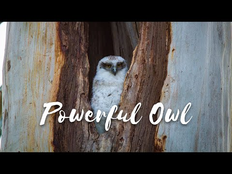 Back from the Brink - Season 1 Episode 5 - Powerful Owl