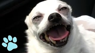 Video Funniest Chihuahuas Ever! | Try Not to Laugh Challenge MP3, 3GP, MP4, WEBM, AVI, FLV November 2018
