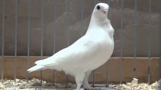 Kicau Mania - Burung Merpati Paling MAHAL