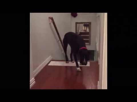 This Pit Bull Is Afraid of Walking Through Doorways, But His Solution Is Genius