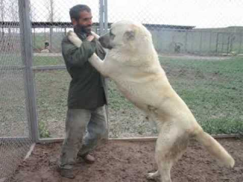 kangal dog - worlds biggest and strongest dog the Kurdish Kangals.