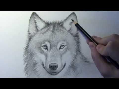 كيف ترسم ذئب خطوة بخطوة