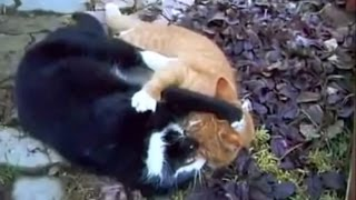 Video kucing hutan VS kucing warteg MP3, 3GP, MP4, WEBM, AVI, FLV Oktober 2017
