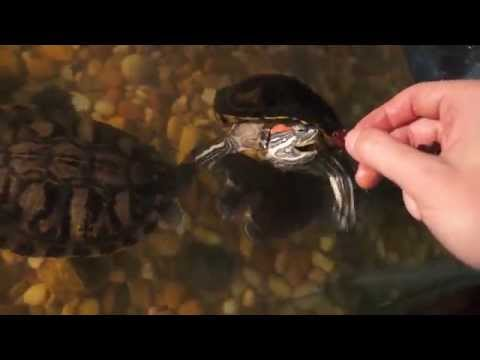 Guy with amazing commentary as he feeds his turtles.